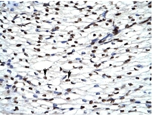 Immunohistochemistry (Formalin/PFA-fixed paraffin-embedded sections) - Anti-HIPK2 antibody (ab28507)