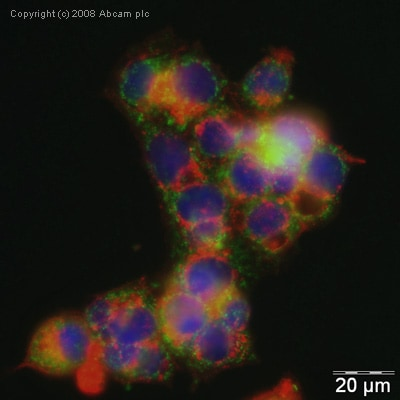 Immunocytochemistry/ Immunofluorescence - Anti-Heme-regulated inhibitor antibody (ab28530)