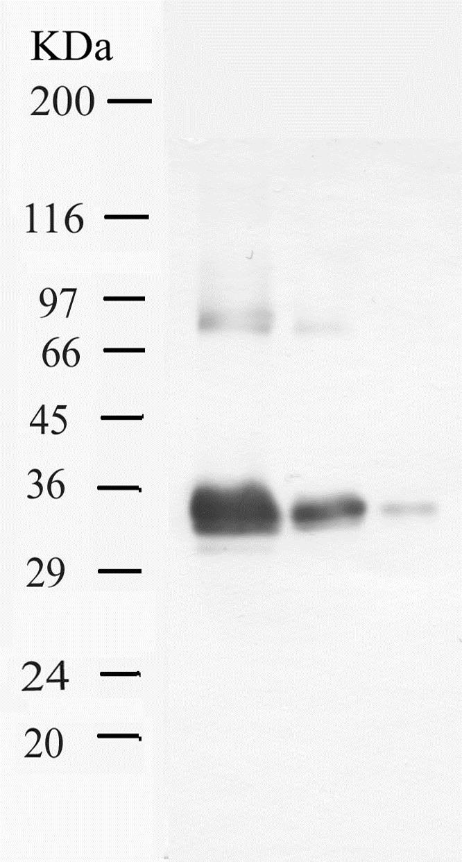 Western blot - Anti-Prostate Specific Antigen antibody - Kallikrein loop (ab28563)