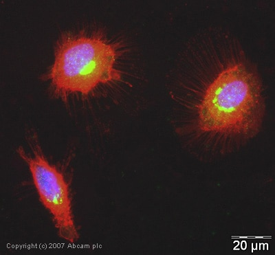 Immunocytochemistry/ Immunofluorescence - Anti-hUPF2/RENT2 antibody (ab28712)