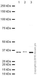 Western blot - Anti-XBP1 antibody (ab28715)