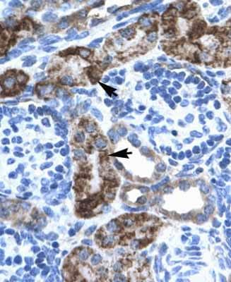 Immunohistochemistry (Formalin/PFA-fixed paraffin-embedded sections) - Anti-EN2 antibody (ab28731)