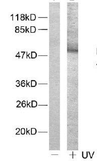 Western blot - Anti-ATF2 (phospho T71 + T53) antibody (ab28812)