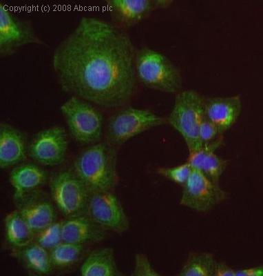Immunocytochemistry/ Immunofluorescence - Anti-NQO1 antibody [A180] (ab28947)