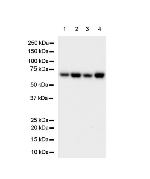 Western blot - Anti-HDAC1 antibody [EPR23847-170] - BSA and Azide free (ab280205)