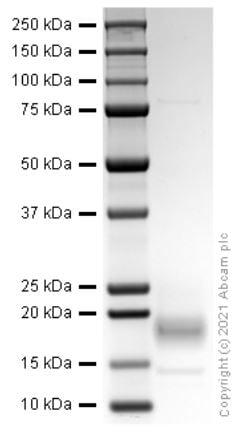 SDS-PAGE - Recombinant Rat Interferon gamma protein (ab280340)