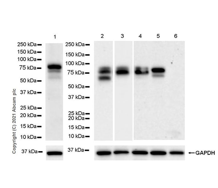 Western blot - Anti-Protein S antibody [EPR24509-70] - BSA and Azide free (ab280894)