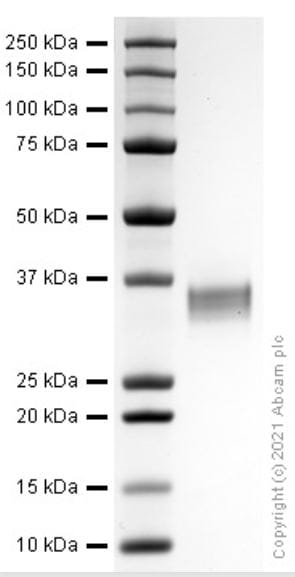 SDS-PAGE - Recombinant Human PD-L1 protein (ab280943)
