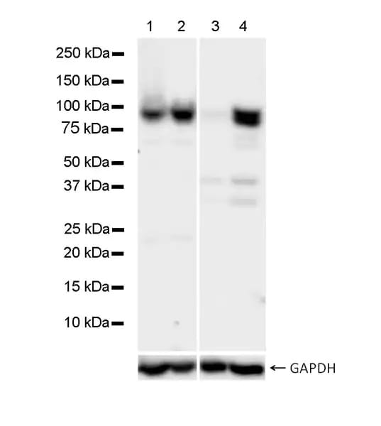 Western blot - Anti-STAT1 antibody [1/Stat1] (ab281999)