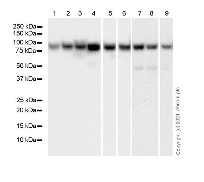 Western blot - Anti-STAT1 antibody [1/Stat1] - BSA and Azide free (ab282026)