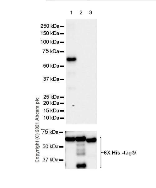 Western blot - Anti-Calcineurin A antibody [EPR24997-22] (ab282104)
