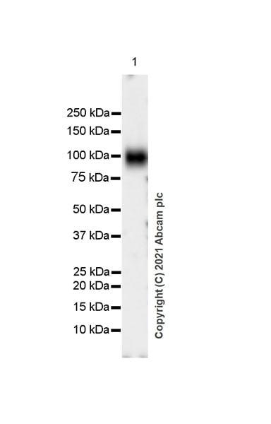 Western blot - Anti-ICAM1 antibody [EPR24639-3] (ab282575)