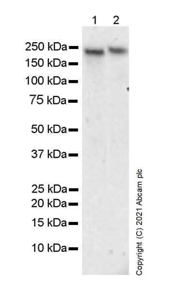 Western blot - Anti-BRG1 antibody [G-SMARCA4-2] - Chimeric (ab282705)