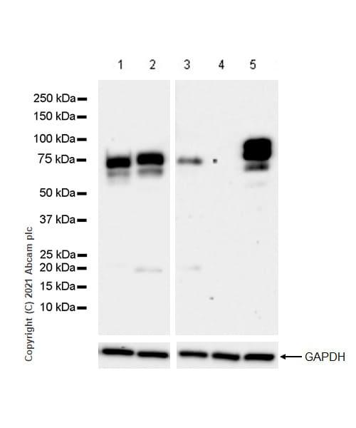 Western blot - Anti-Chromogranin A antibody [RM1025] - BSA and Azide free (ab283286)