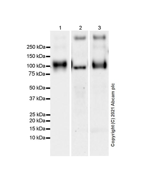 Western blot - Anti-CD68 antibody [EPR23917-164] (ab283654)