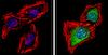 Immunocytochemistry - Anti-PSMB5/MB1 antibody (ab3330)