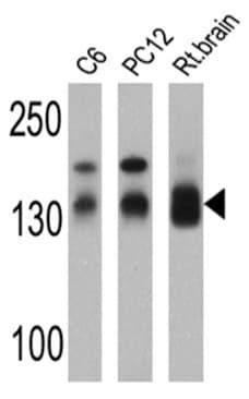 Western blot - Anti-SAP97 antibody (ab3437)