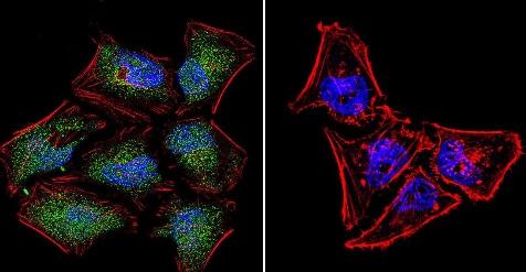 Immunocytochemistry/ Immunofluorescence - Anti-NFAT5 antibody - ChIP Grade (ab3446)