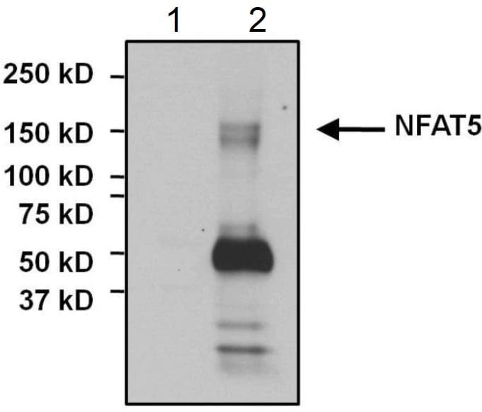 Immunoprecipitation - Anti-NFAT5 antibody (ab3446)