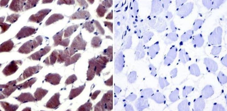 Immunohistochemistry (Formalin/PFA-fixed paraffin-embedded sections) - Anti-NFAT5 antibody (ab3446)