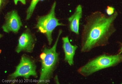Immunocytochemistry/ Immunofluorescence - Anti-Dynamin 3 antibody (ab3458)