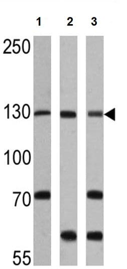 Western blot - Anti-CRM1 antibody (ab3459)