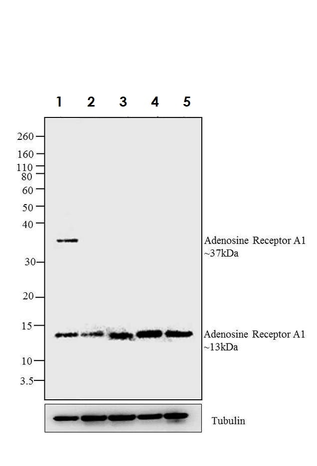 Western blot - Anti-Adenosine A1 Receptor antibody (ab3460)