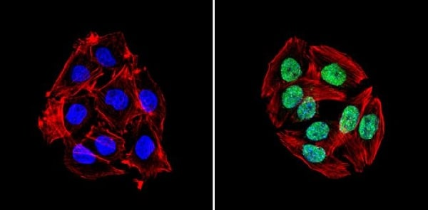 Immunocytochemistry/ Immunofluorescence - Anti-KAP1 antibody (ab3472)