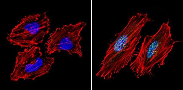 Immunocytochemistry/ Immunofluorescence - Anti-mSin3A antibody - ChIP Grade (ab3479)