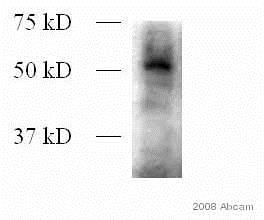 Western blot - Anti-Dnmt3L antibody (ab3493)