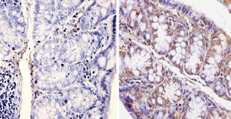 Immunohistochemistry (Formalin/PFA-fixed paraffin-embedded sections) - Anti-KAT13D / CLOCK antibody - ChIP Grade (ab3517)