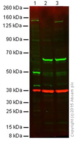 Western blot - Anti-iNOS antibody (ab3523)