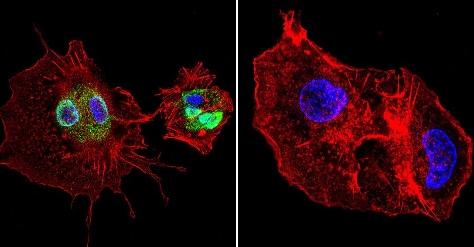 Immunocytochemistry/ Immunofluorescence - Anti-Cyclophilin 40 antibody (ab3562)