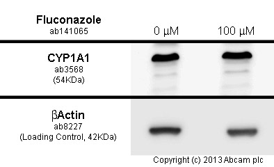 Western blot - Anti-CYP1A1 antibody (ab3568)