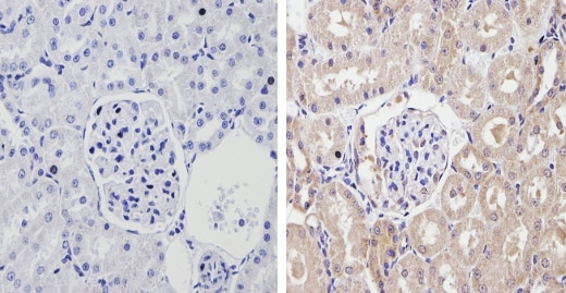 Immunohistochemistry (Formalin/PFA-fixed paraffin-embedded sections) - Anti-CYP2C11 antibody (ab3571)