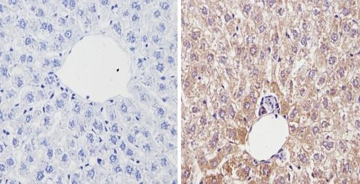 Immunohistochemistry (Formalin/PFA-fixed paraffin-embedded sections) - Anti-Cytochrome P450 4A/CYP4A11 antibody (ab3573)