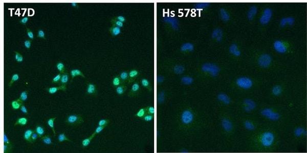 Immunocytochemistry/ Immunofluorescence - Anti-Estrogen Receptor alpha antibody (ab3575)