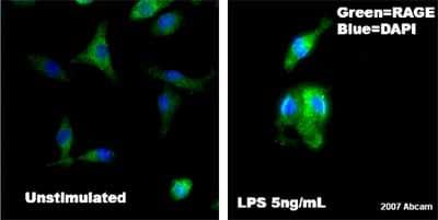 Immunocytochemistry/ Immunofluorescence - Anti-RAGE antibody (ab3611)