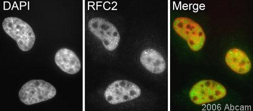Immunocytochemistry/ Immunofluorescence - Anti-RFC2 antibody (ab3615)