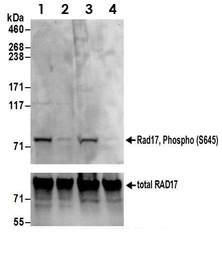 Western blot - Anti-Rad17 (phospho S645) antibody (ab3620)