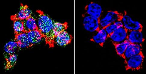 Immunocytochemistry/ Immunofluorescence - Anti-Glucocorticoid Receptor antibody - ChIP Grade (ab3671)