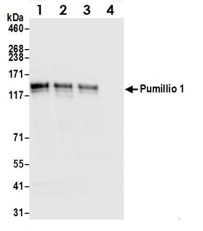 Immunoprecipitation - Anti-Pumilio 1 antibody (ab3717)