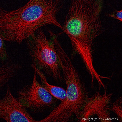 Immunocytochemistry/ Immunofluorescence - Anti-Sumo 2 + Sumo 3 antibody (ab3742)