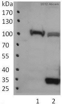 Western blot - Anti-Topoisomerase I antibody - ChIP Grade (ab3825)