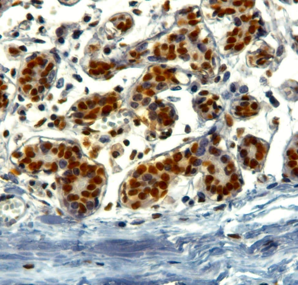Immunohistochemistry (Formalin/PFA-fixed paraffin-embedded sections) - Anti-KAP1 antibody (ab3831)