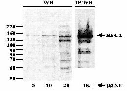 Immunoprecipitation - Anti-RFC1 antibody (ab3853)