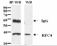 Immunoprecipitation - Anti-RFC4 antibody (ab3854)