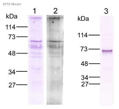 Western blot - Anti-ARIH1 antibody (ab3891)