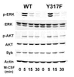 Western blot - Anti-Syk antibody [SYK-01] (ab3993)