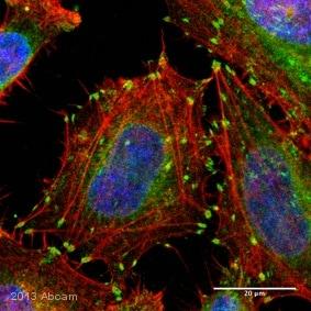 Immunocytochemistry/ Immunofluorescence - Anti-Integrin beta 1 antibody [12G10] (ab30394)
